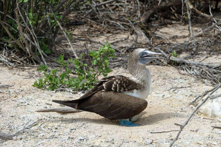 a blue-footed booby breeds eggs out on the galapagos islands