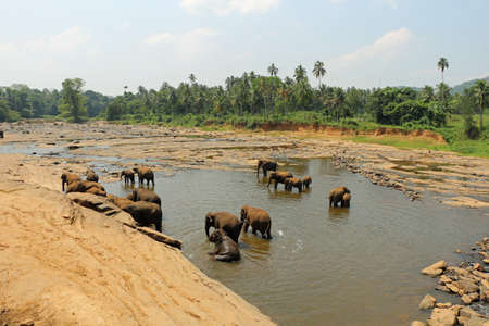 Elephants in a river in Sri Lanka