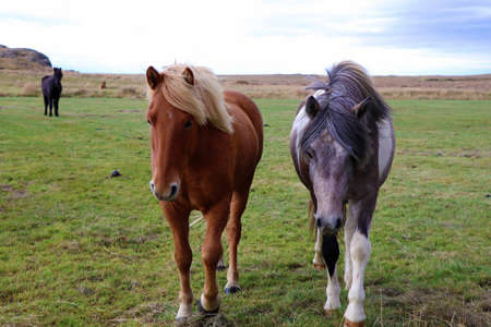 Iceland horses in the pasture in Iceland nature 스톡 콘텐츠