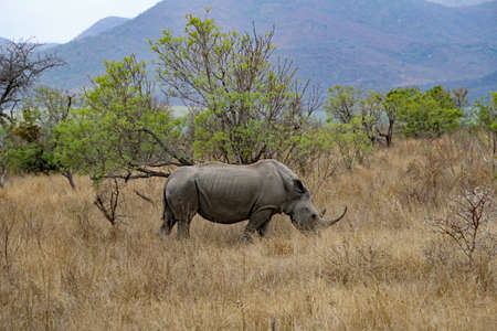 Rhino in Kruger National Park South Africa nature Banque d'images