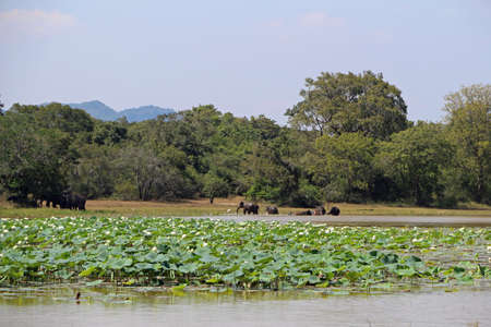 Water lilies with asia elephants in the background in Sri Lanka 스톡 콘텐츠