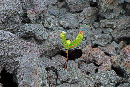 New life in volcanic stone in Hawaii green plant 스톡 콘텐츠