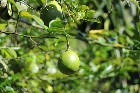 fresh limes on the tree Ecuador 스톡 콘텐츠