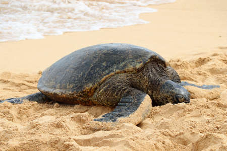 Sea turtle on the beach of Hawaii
