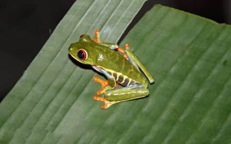 Red-eyed frog on a leaf in Costa Rica nature 스톡 콘텐츠