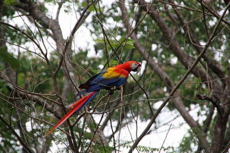 wild red macaw in Costa Rica Фото со стока