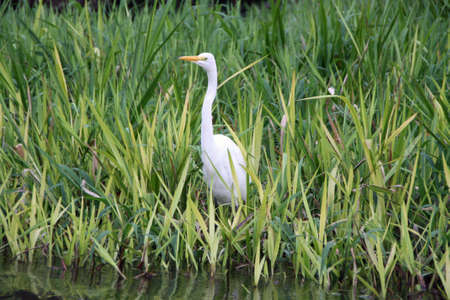 great white egret in Costa Rica wildlife