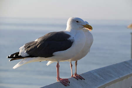 Two seagulls on a railing by the sea USA California