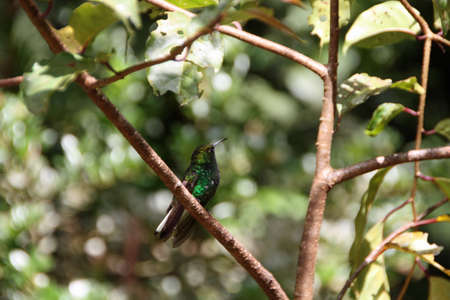 green hummingbird in a tree in Costa Rica wildlife