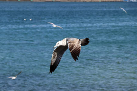 Seagull in flight in Muscat