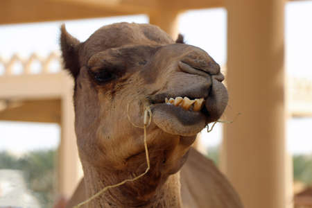 Head of an Arabian camel in Bahrain eat something 스톡 콘텐츠
