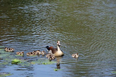 Duck family on a lake in Durban South Africa wildlife 스톡 콘텐츠