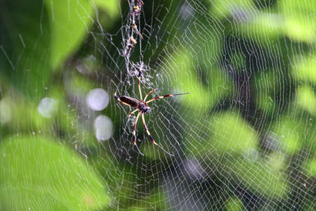 Silk spider in a spider web in Costa Rica 스톡 콘텐츠