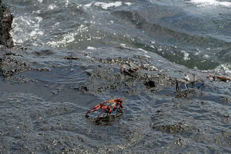 red and black crabs in the Galapagos Islands Ecuador 스톡 콘텐츠