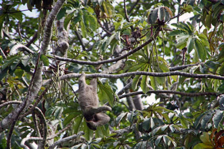 Sloth hangs from a branch in a tree in Costa Rica wildlife