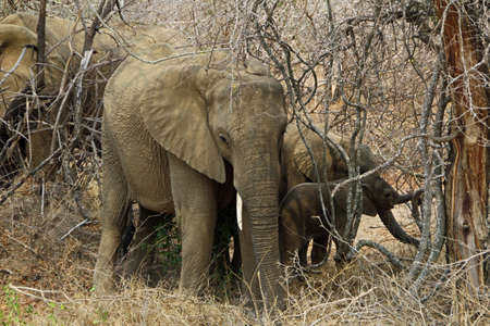 Elephants in bushes in Kruger National Park South Africa Wildlife