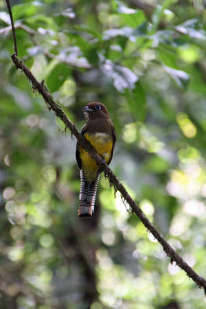 yellow brown bird on a branch in Ecuador wildlife