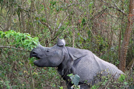 eaten rhino in Chitwan Nationalpark in Nepal Wildlife