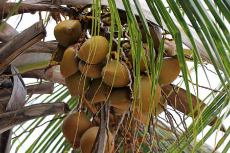 Coconuts on a palm tree on Big Island