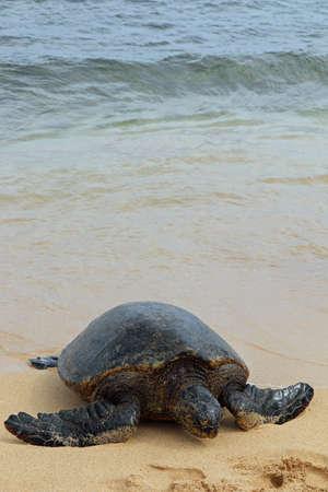 green sea turtle on the beach on the island of Kauai