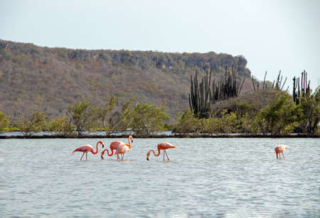 Flamingos in the water on Curacao wildlife