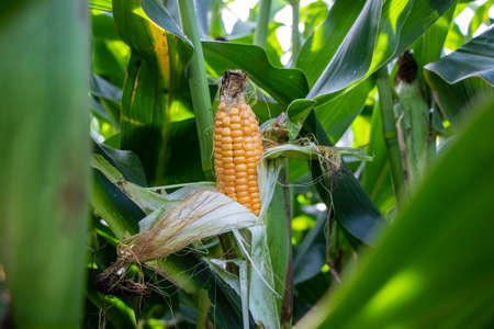 Corn cobs in the corn field in Germany