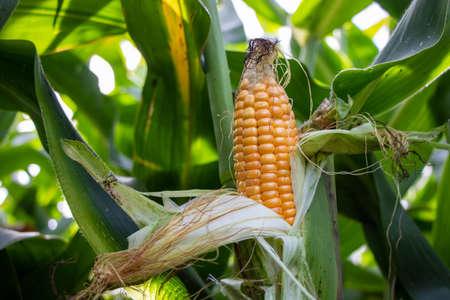yellow corn cob in the corn field