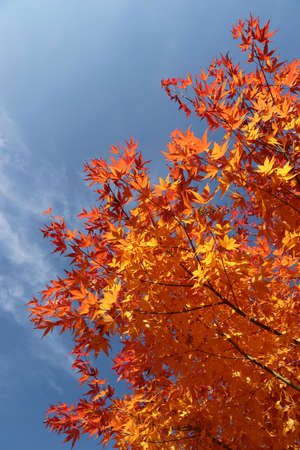 blue sky and red maple in autumn in Germany