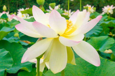 Beautiful White and Pink Lily