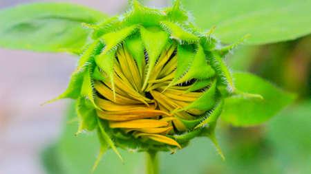 Closed Sunflower