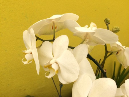 crocket: White orchids contrasting with the yellow background
