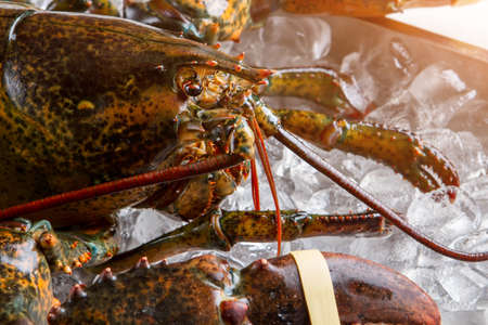 raw lobster: Head of raw lobster. Lobster with tied claw. Creature with hard shell. Recently caught crustacean.