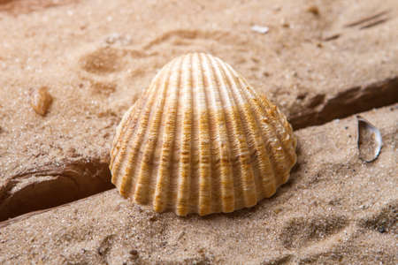 lifespan: Scallop seashell on sand background. Beautiful seashell on sand. Spend vacation in exotic place. Far from civilization. Stock Photo