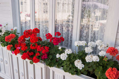 Flowers near house window. Reflection in glass. White and red petunias. Aroma of summer freshness.
