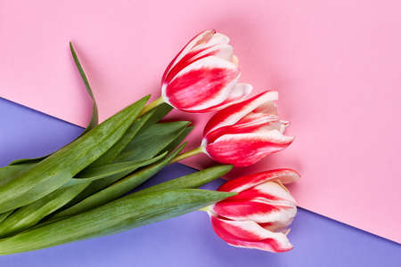Tulips on pastel backdrop. Getting flowers for no reason. Stock Photo