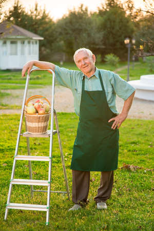 Old gardener standing on grass. Apple basket and stepladder. Stock Photo