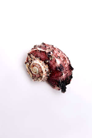 oceanic: Marine bright shell, white background. Beautiful oceanic object for collection.