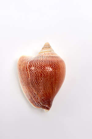 Beautiful image of brown sea shell. Tropical mollusk shell on white background. Stock Photo