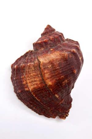 Large marvellous brown seashell. Beautiful souvenir from ocean.