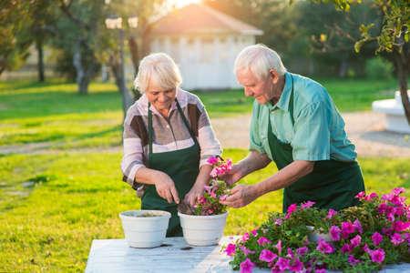 Old gardeners transplanting flowers. Petunias on wood table. Stock Photo