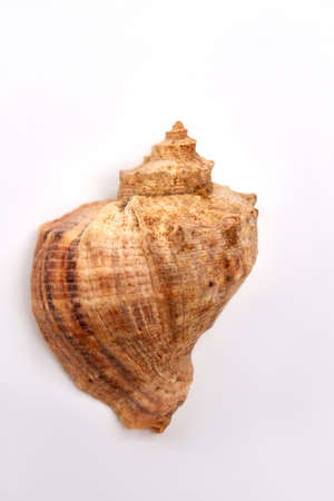 Close up of brown sea shell. Single shell on white background.