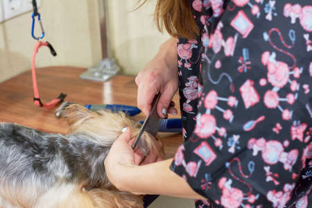 dog grooming: Hands of woman combing dog. Work of dog groomer macro.