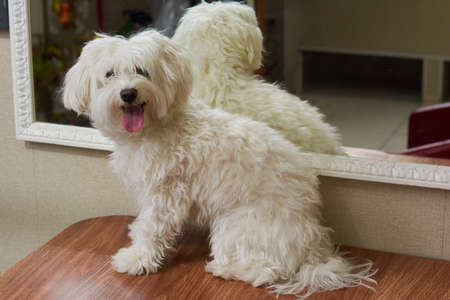 Furry white maltese. Funny dog on the table.