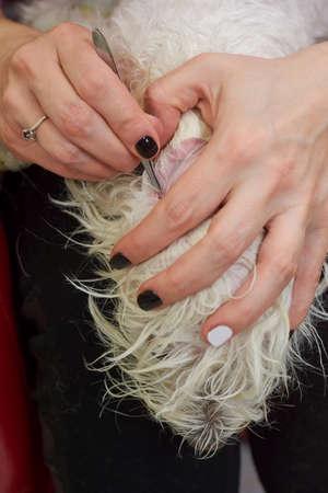 groomer: Dog grooming close up, tweezers. Groomer cleaning ear of dog.