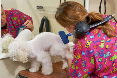 dog grooming: Dog groomer using slicker brush. White maltese, pet grooming salon. Stock Photo