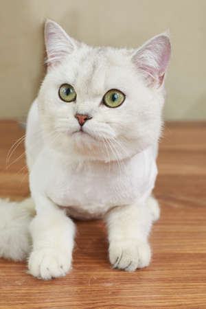 British shorthair cat close up. White cat with green eyes. Stock Photo