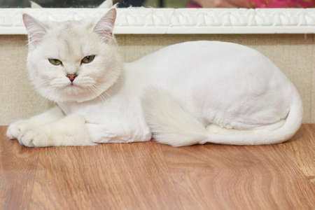 animal origin: Upset cat on the table. White british shorthair, side view. Do animals have emotions.