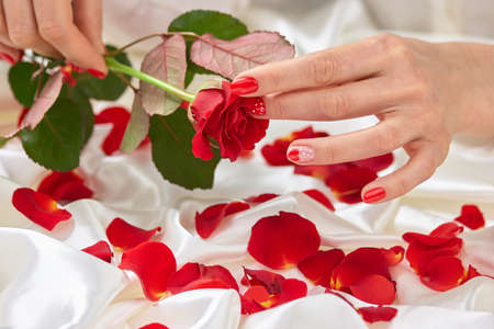 Beautiful rose in gentle female hands. Young lady holding in hands red rose. Beautiful red rose petals on white silk fabric.