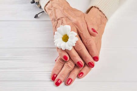 salon background: Little white chrysanthemum and female hands. Well-groomed woman hands with a white chrysanthemum close up. Beautiful red manicure and gentle white chrysanthemum on white wooden background. Stock Photo