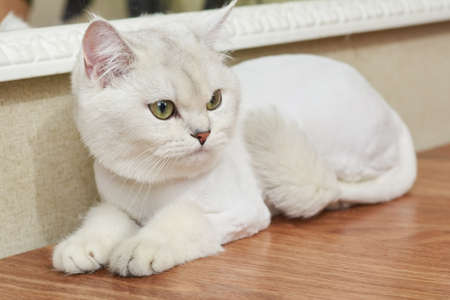 White british shorthair. Cute cat with green eyes. Facts about cats.